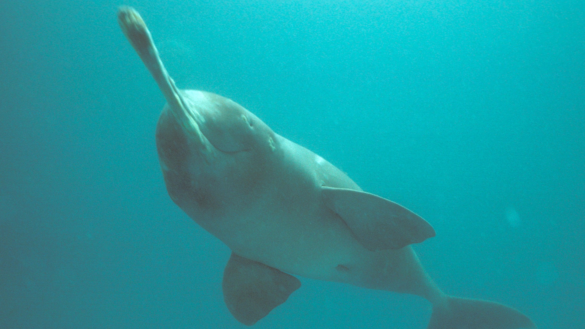 The Indus Blind Dolphin